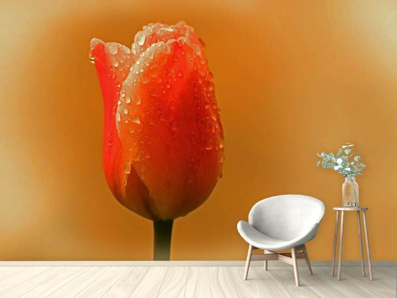 Photo Wallpaper A tulip in the morning dew