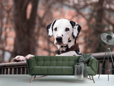 Photo Wallpaper Watchful Dalmatian