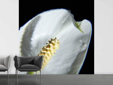Fototapete Calla Close up in weiss