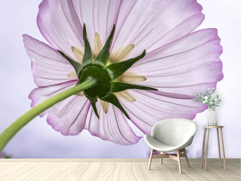 Photo Wallpaper The cosmos flower