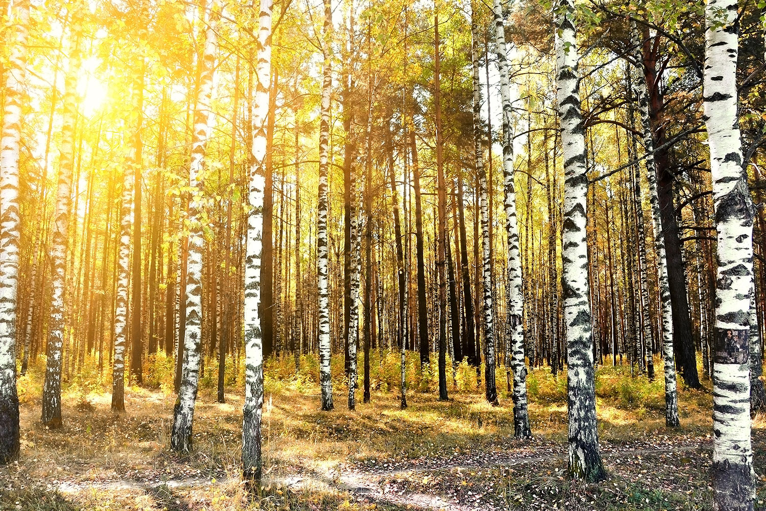 Photo Wallpaper Birch Forest